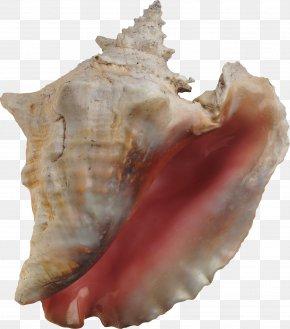 Seashell - Conch Seashell Hotel Essay Travel PNG