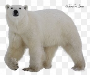 Polar Bear - Polar Bear Clip Art PNG