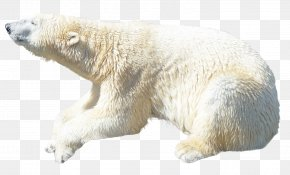Polar White Bear - Polar Bear Kodiak Bear Ursinae PNG