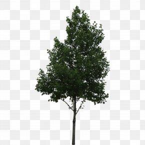 Trees - Populus Alba Tree Shrub Oak PNG