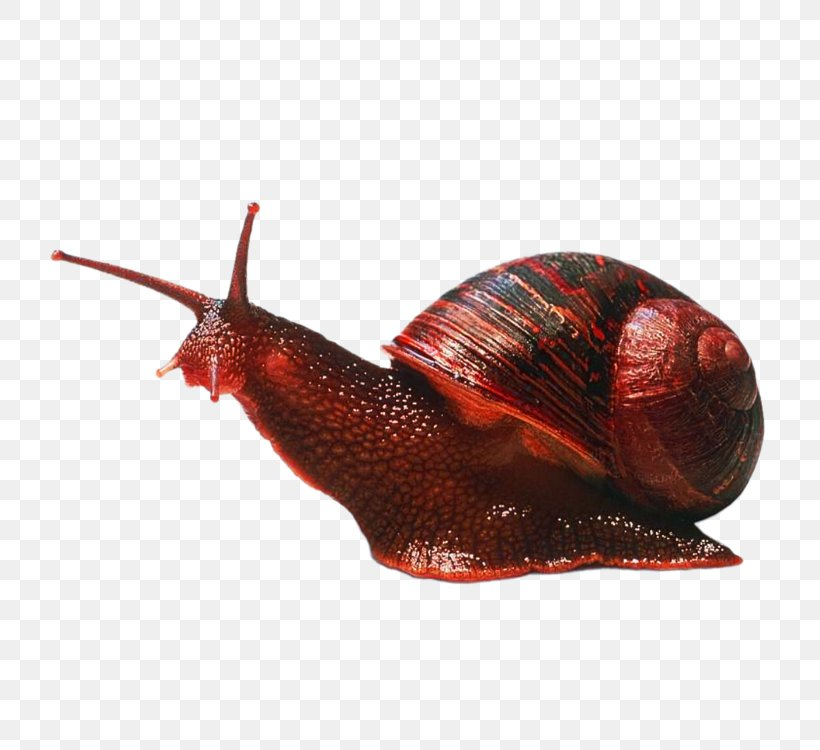 Gastropods Caracol Cephalopod Snail Invertebrate, PNG, 750x750px, Gastropods, Animal, Caracol, Caracola, Cephalopod Download Free