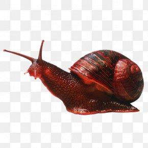 Snails - Gastropods Caracol Cephalopod Snail Invertebrate PNG