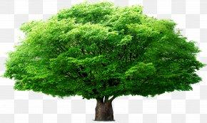 Umbrella Tree - Tree Euclidean Vector Leaf PNG