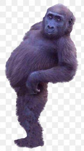 Chimpanzee Gorilla - Western Gorilla Common Chimpanzee Ape Monkey PNG