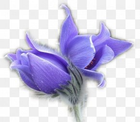 Purple Crocus - Flower Pulsatilla Patens Blog Clip Art PNG