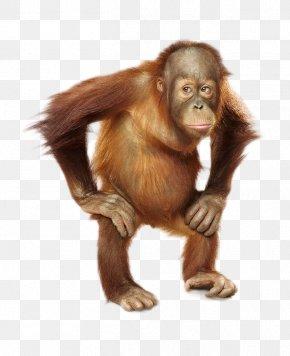 Orangutan - Common Chimpanzee Orangutan Monkey Fur Snout PNG