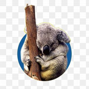 Wild Koalas - Koala User Interface Design PNG