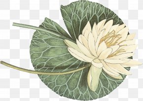 Water Lily Anthurium - Lily Flower Cartoon PNG