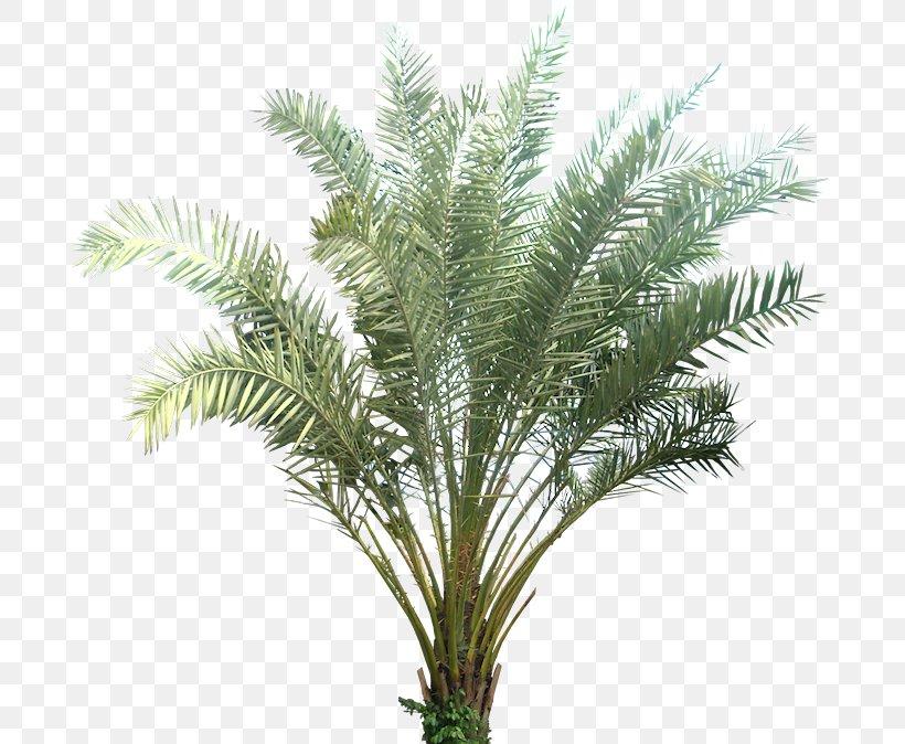 Phoenix Sylvestris Date Palm Plant Arecaceae Tropics, PNG, 687x674px, Phoenix Sylvestris, Arecaceae, Arecales, Attalea Speciosa, Cycad Download Free