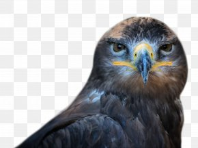Bird Of Prey Images Bird Of Prey Transparent Png Free Download