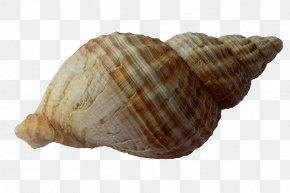 Seashell - Seashell Clam Mollusc Shell Shellfish PNG