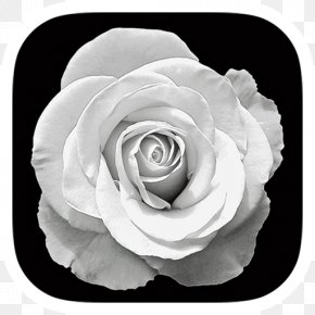 Black And White Roses - Garden Roses Photography Black And White PNG