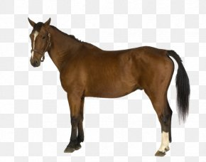 Brown Horse Icon - Belgian Horse Horses Shutterstock Illustration PNG