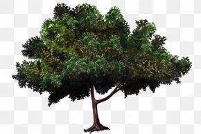 Mango Tree - Zelkova Serrata Tree Bonsai Evergreen Woody Plant PNG