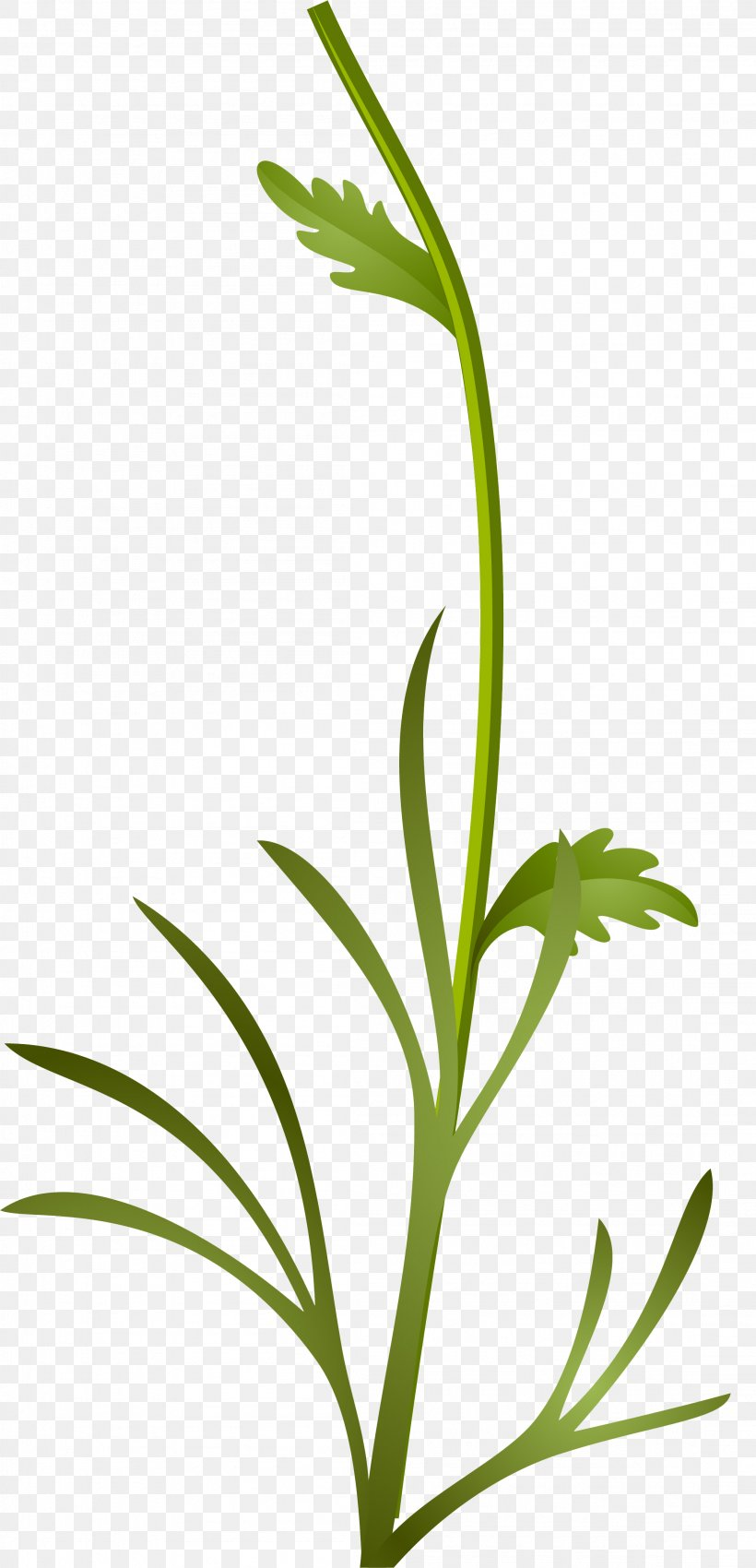 Grasses Sweet Grass Plant Stem Leaf, PNG, 2206x4576px, Grasses, Branch, Commodity, Family, Flora Download Free