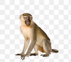 Monkey - Capuchin Monkey White-headed Capuchin Primate Orangutan Vervet Monkey PNG