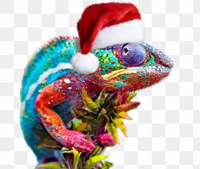 Chameleon - Color Chameleons Animal Blue Vertebrate PNG
