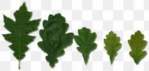 Leaf - Leaf Vegetable Plant Stem Tree PNG