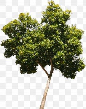 Bushes - Tree Oak Woody Plant Crown PNG