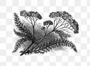 Flower Illustration - Yarrow Drawing Botanical Illustration PNG
