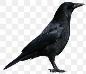 Crow Image - American Crow New Caledonian Crow Rook Common Raven Bird PNG