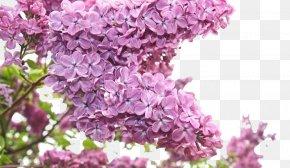 Lilac Flowers - Flower Bouquet Purple Lilac PNG