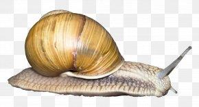 Snail - Snail Orthogastropoda Monoplacophora PNG