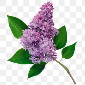 White Lilac - Common Lilac Flower Clip Art PNG