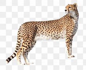 Cheetah - Cheetah Lion High-definition Television Wallpaper PNG