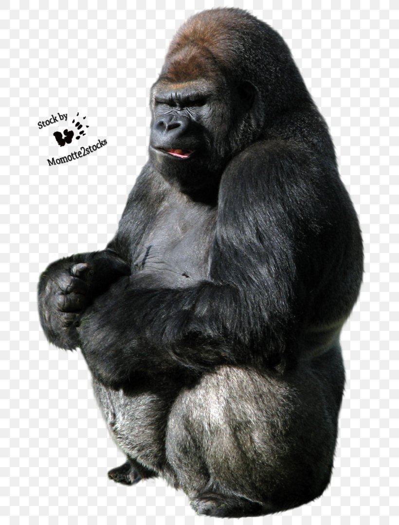 Gorilla Clip Art, PNG, 740x1079px, Western Gorilla, Fur, Gorilla, Great Ape, Image File Formats Download Free