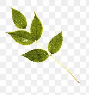 Leaf - Leaf Plant Stem PNG