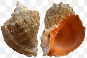 Rapana Shell Clip Art - Seashell Clip Art PNG