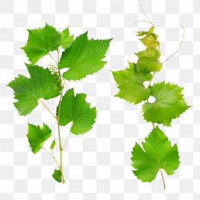 Green Grape Leaves - Wine Common Grape Vine Grape Leaves Leaf PNG