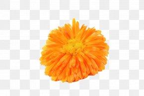 Yellow Chrysanthemum - Mexican Marigold Chrysanthemum Tea Calendula Officinalis PNG