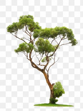 Trees - Tree Stock Photography PNG