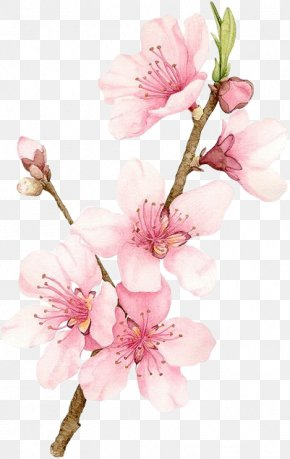 Cherry Blossom - Cherry Blossom Watercolor Painting Drawing PNG