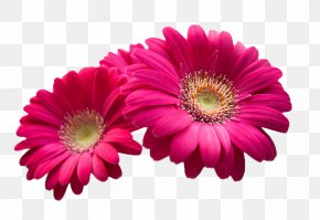 Rose Red Chrysanthemums - Pink Flowers Beauty Wallpaper PNG