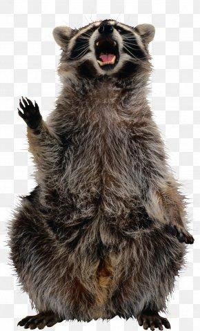 Raccoon - Raccoon Clip Art PNG