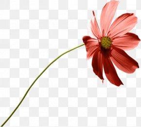 Garden Cosmos Common Daisy Calendula Officinalis PNG