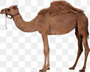 Camel Image - Dromedary Bactrian Camel Clip Art PNG