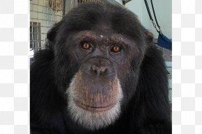 Chimpanzee - Common Chimpanzee Gorilla Primate Monkey Fauna PNG