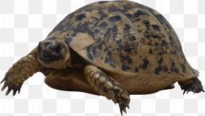 Turtle - Turtle Reptile Wallpaper PNG