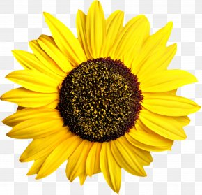 Sunflower - Common Sunflower Pixel Computer File PNG