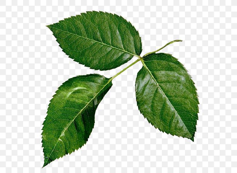 Leaf Raster Graphics Plant Stem, PNG, 600x600px, Leaf, Branch, Elm Family, Flower, Leaflet Download Free