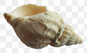 Sea Shell - Seashell Mollusc Shell PNG