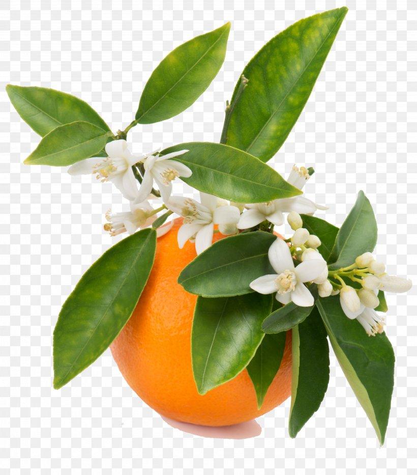 Orange Blossom Orange Juice Orange Flower Water, PNG, 3904x4445px, Orange Blossom, Apple, Bitter Orange, Blossom, Calamondin Download Free