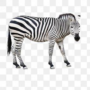 Zebra - Horse Zebra Clip Art PNG