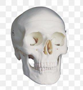 Homo Sapiens - Skull Anatomy Brain Homo Sapiens Falx Cerebri PNG