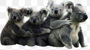 Koala - The Koala Book Australia Bear Giant Panda PNG