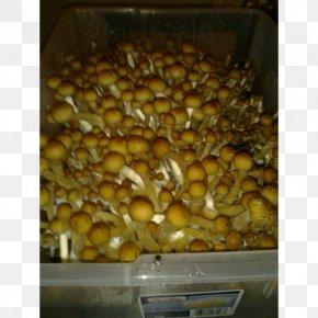 Mushroom - Magic Mushrooms Psilocybin Mushroom PF Tek Psilocybe Cyanescens PNG